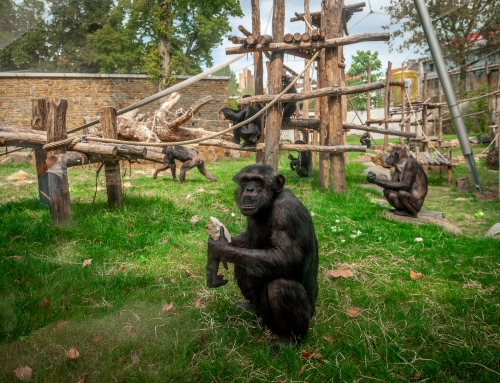 Schimpansinnen Lomela und Nancy gut eingelebt im Zoo Antwerpen