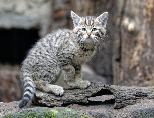 Kindergeschichte von Dr. Heike Weber – Umzug der Europäischen Wildkatzenjungtiere steht kurz bevor
